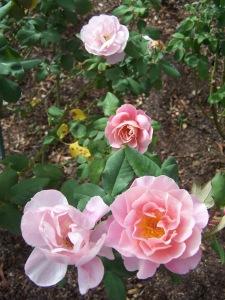 October Roses 071